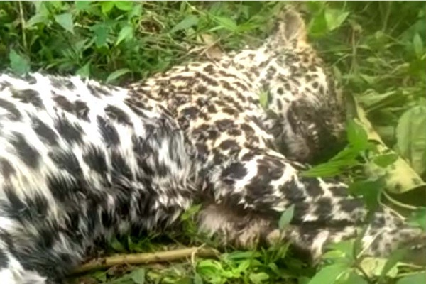 Macan Tutul Pegunungan Muria Mati, Begini Keprihatinan Pencinta Alam…