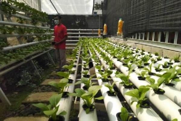 Bertanam Sayur Hidroponik Yuk, Murah Lagi Mudah Hlo, Begini Caranya…