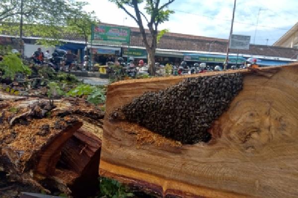 Dua Pohon Trembesi Raksasa di Pasar Bunder Sragen Ditebang, di Satu Pohon Ada Keanehan…