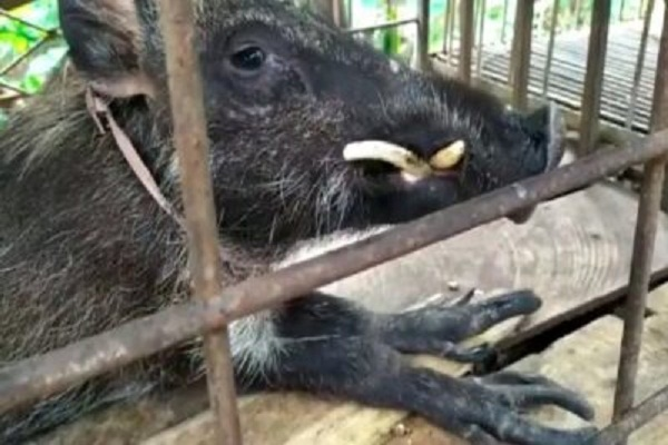 Babi Hutan di Banyumas Bikin Heboh, Kakinya Berjari, Suka Makan Nasi & Minum Kopi