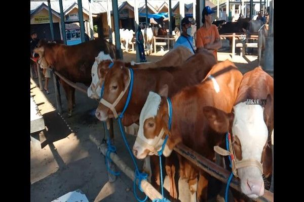 Di Pasar Sapi Ambarawa, Sapi Jumbo Siap Sambut Iduladha