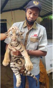 Petugas Taman Satwa Semarang alias Semarang Zoo yang lebih kondang sebagai Bonbin Mangkang menunjukkan satu dari dua bayi harimau benggala yang tiga bulan lalu lahir di Semarang pada Rabu (15/7/2020). (Antara-Immanuel Citra Senjaya)
