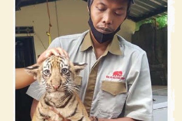 Harimau Benggala Covi dan Vivid Lahir di Semarang Zoo