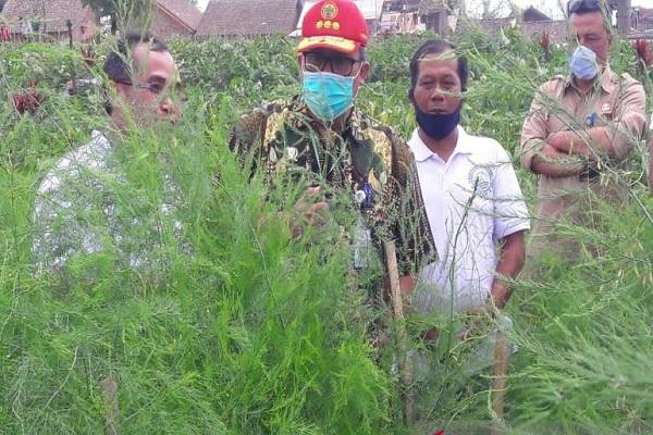 Pemerintah Jadikan Temanggung Area Pengembangan Asparagus