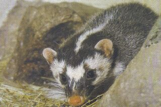 Ilustrasi biul slentek. (Wikipedia.org)