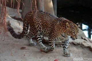 Ilustrasi macan tutul jawa. (detik.com)