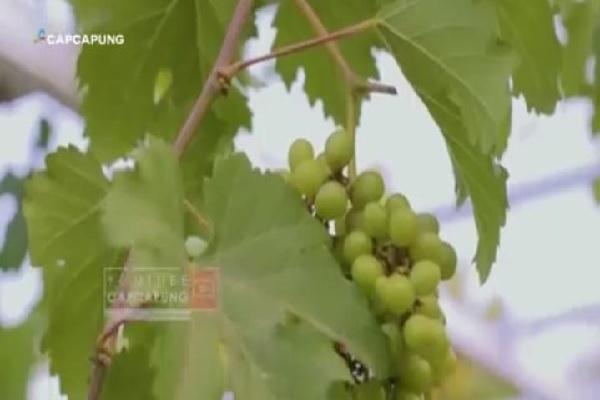 Unik, Kampung di Bantul Ini Wajibkan Warga Tanam Pohon Anggur