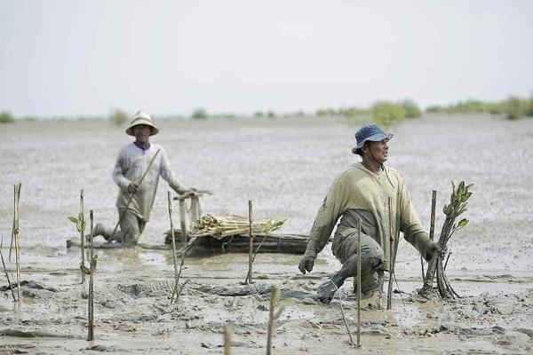 Penanaman Mangrove Sebagai Upaya Pemulihan Ekonomi