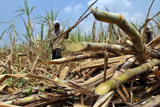 Konsumsi Gula Impor di Jateng Naik, Lahan Tebu Kian Susut