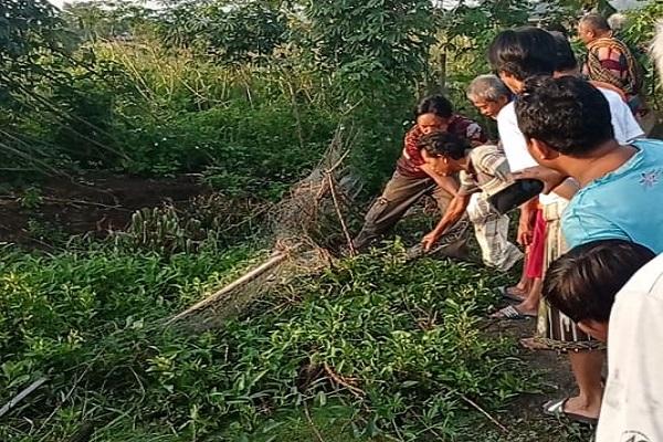 Kerap Mangsa Entok, Ular Piton 3,5 Meter Ditangkap Warga Tugurejo Semarang