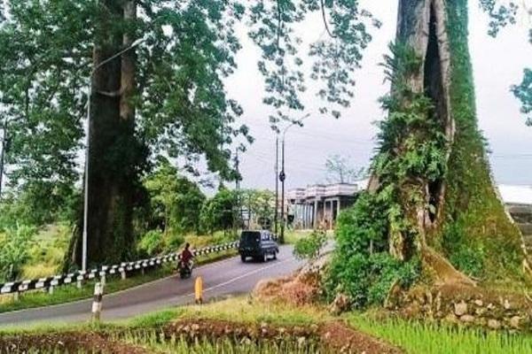 Konon Dijaga Ular Raksasa, Pohon Randu Jejer Pemalang Tak Boleh Ditebang