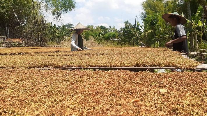 Harga Tembakau Anjlok, Petani di Madiun Nelangsa